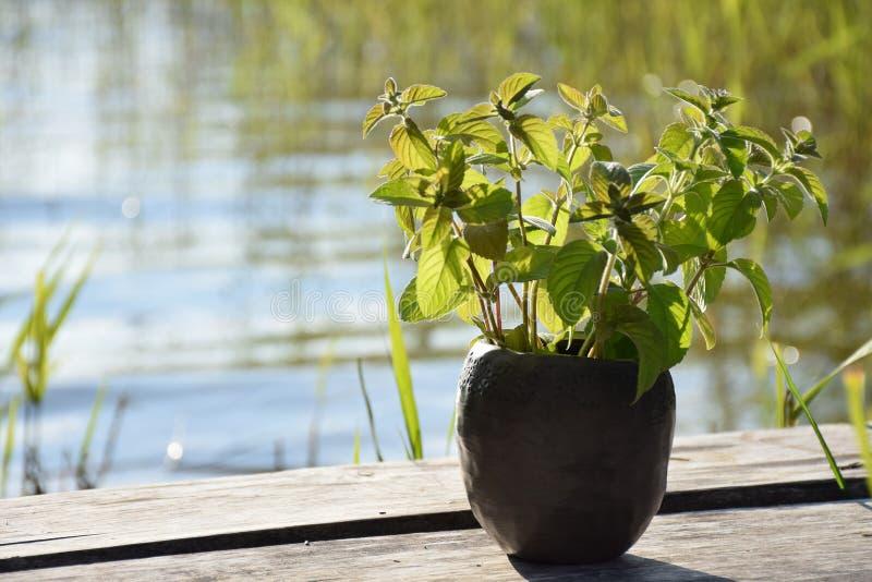 与新鲜的绿色薄荷叶子和黑瓦器杯子特写镜头的夏令时在阳光下在木板条人行桥在l附近 免版税库存照片