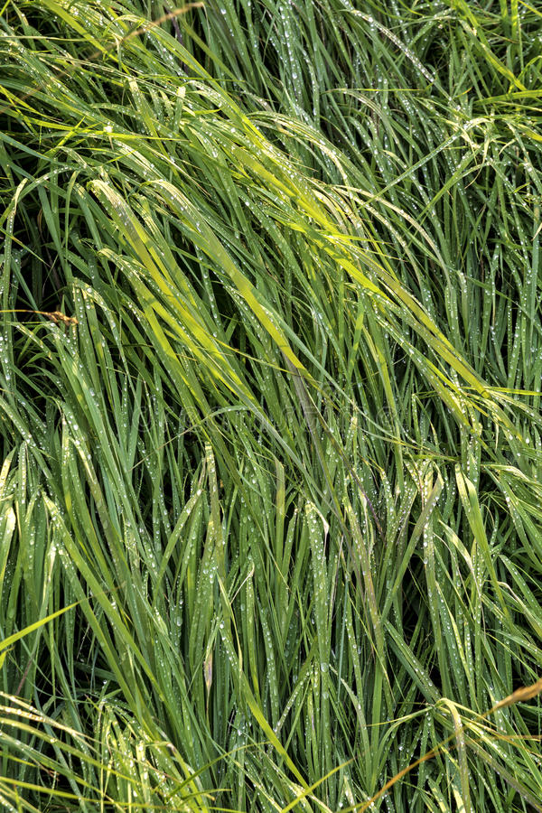 与新鲜的雨的绿草 免版税图库摄影