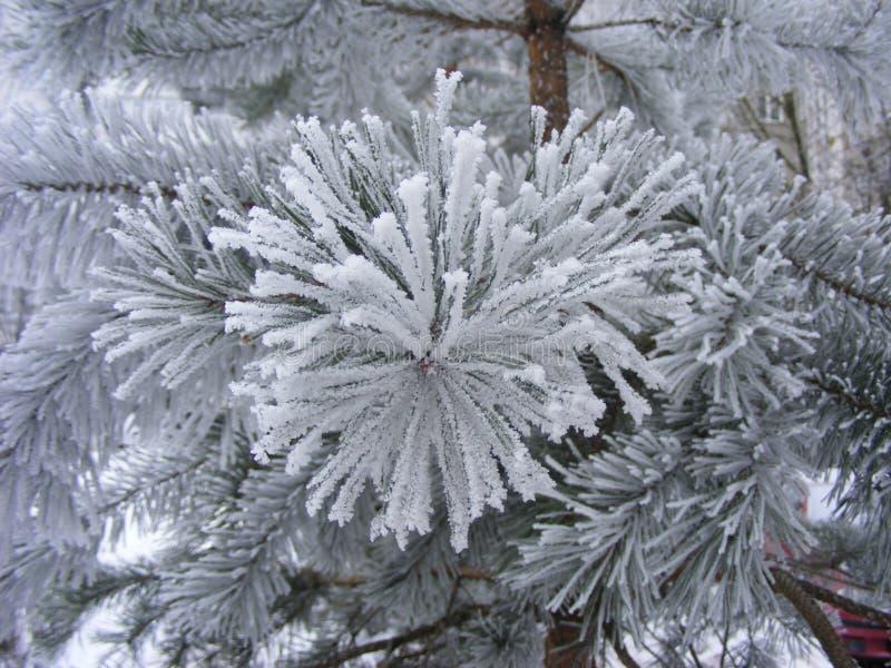 与新鲜的雪的云杉的树 免版税库存照片