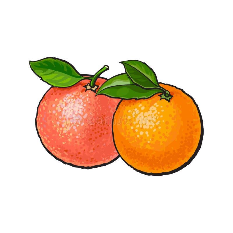 与新鲜的绿色叶子的整个发光的橙色和粉红色葡萄柚 库存例证