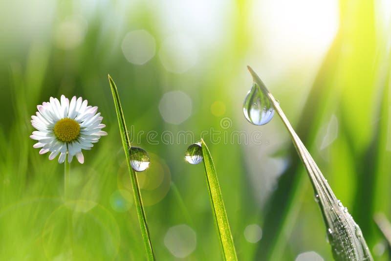 与新鲜的绿色春天草叶的雏菊与露滴的 免版税图库摄影