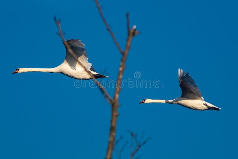 与无云的天空的两只白色天鹅 免版税库存照片