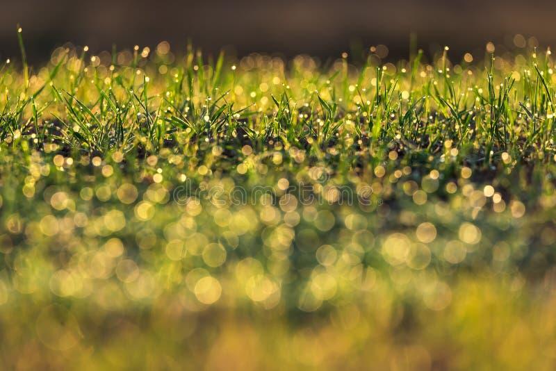 与日出光沐浴的露水的草背景 免版税库存图片