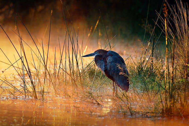 与日出的巨人苍鹭在有薄雾的河 免版税库存照片