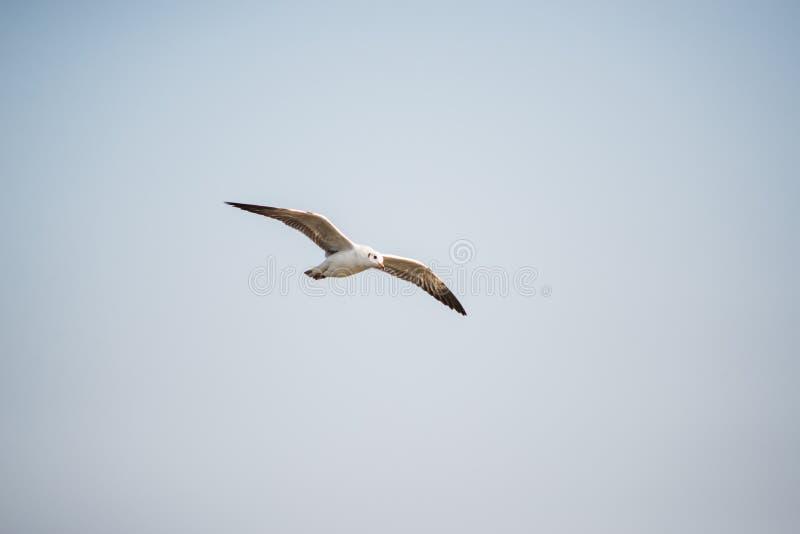 与日落的海鸥在轰隆Pu使Samutprakarn,泰国靠岸 库存照片