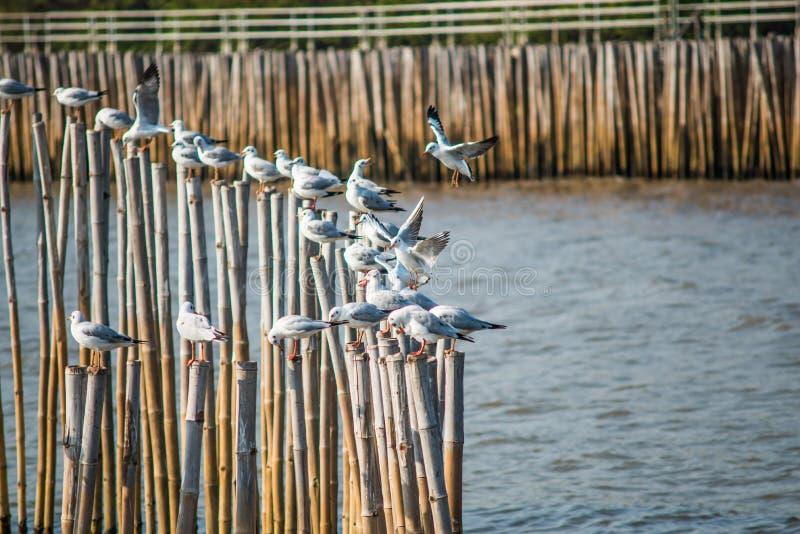 与日落的海鸥在轰隆Pu使Samutprakarn,泰国靠岸 免版税库存照片