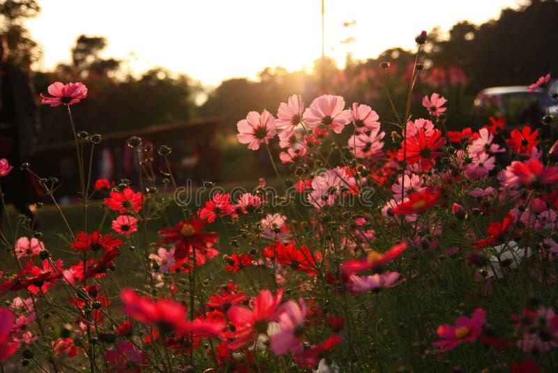 与日落的红色和桃红色花 库存图片