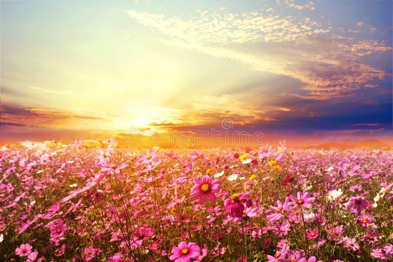 与日落的美好的桃红色和红色波斯菊花田 库存照片