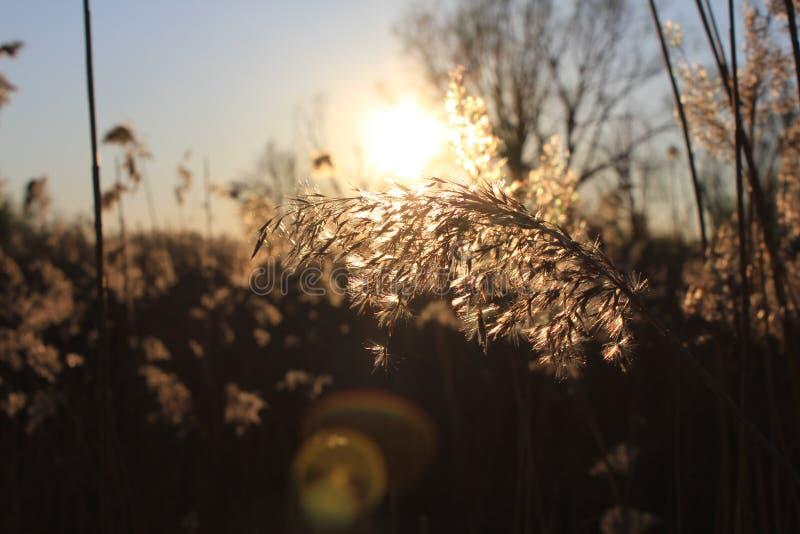 与日落的里德花在背景 库存图片