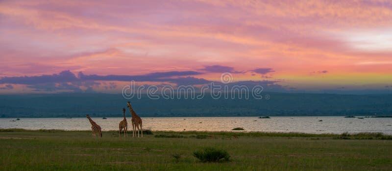 与日落的长颈鹿在背景中 免版税库存照片