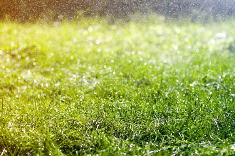 与早晨雨水下跌的下落的绿色新鲜的草  与bokeh和被弄脏的背景的美好的夏天背景 低 图库摄影
