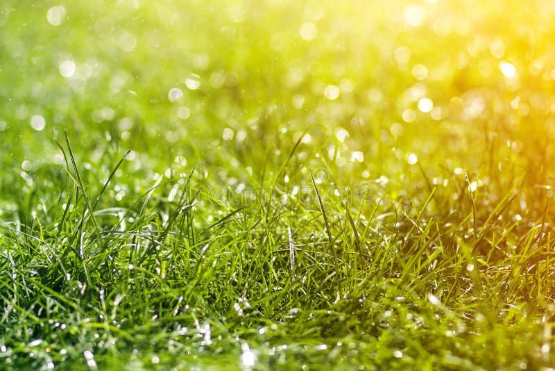 与早晨雨水下跌的下落的绿色新鲜的草  与bokeh和被弄脏的背景的美好的夏天背景 低 库存图片