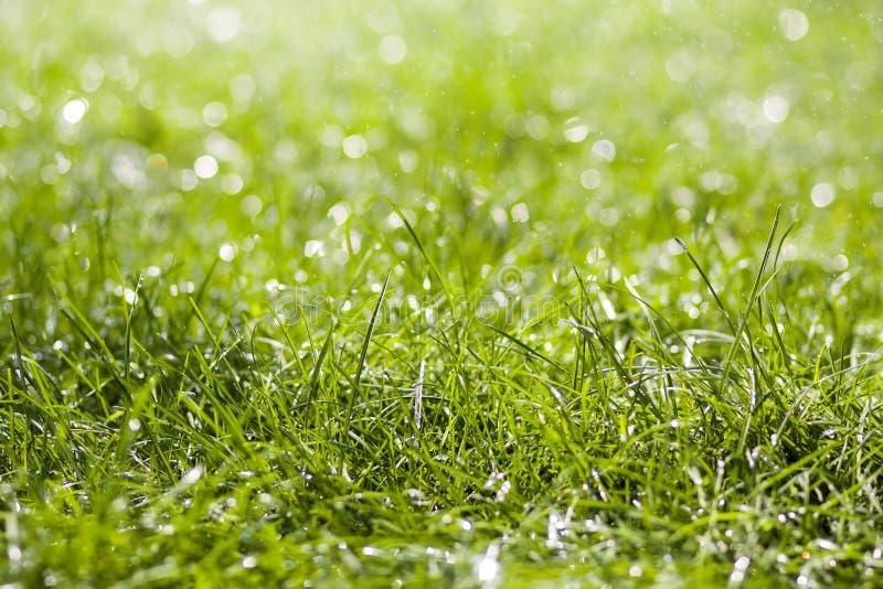 与早晨雨水下跌的下落的绿色新鲜的草  与bokeh和被弄脏的背景的美好的夏天背景 低dep 库存图片