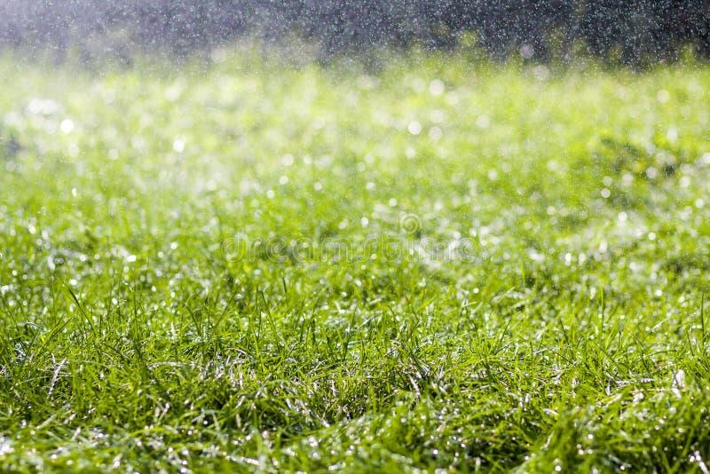 与早晨雨水下跌的下落的绿色新鲜的草  与bokeh和被弄脏的背景的美好的夏天背景 低dep 免版税库存图片