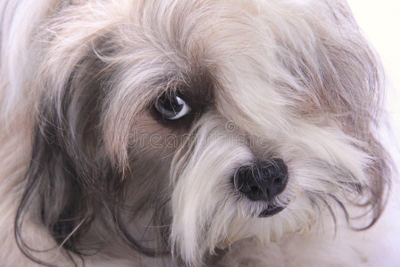 与时髦的头发的狗 库存图片