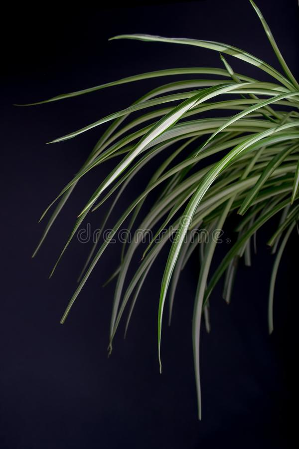 与明亮地富有的绿色叶子的Chlorophytum在黑暗的背景 有白色条纹的长的叶子 库存图片