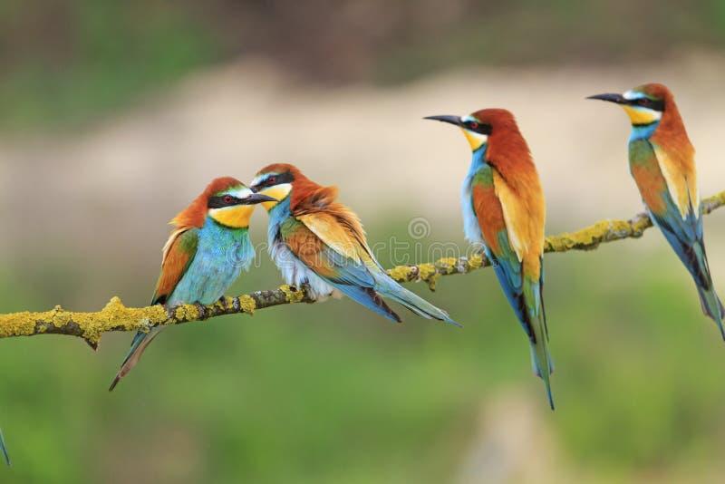与明亮的全身羽毛的食蜂鸟坐分支 图库摄影