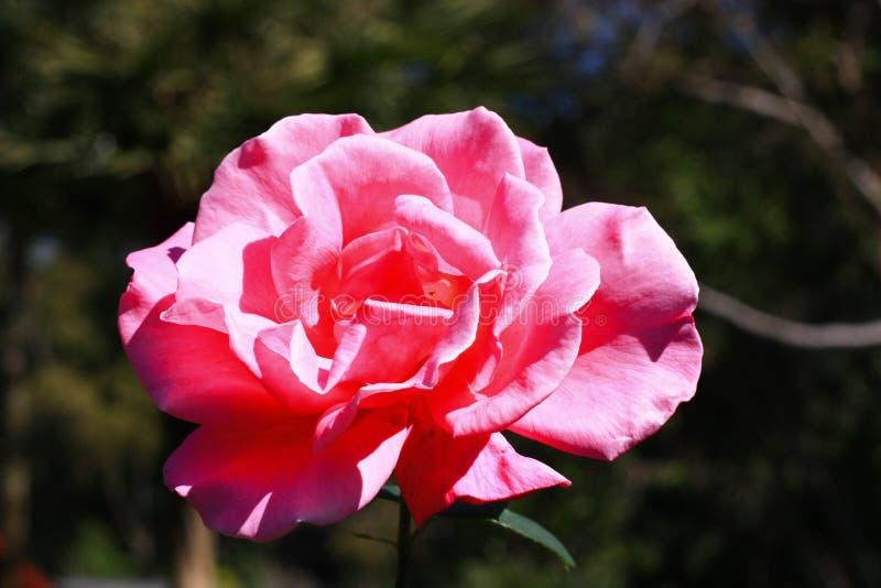 与明亮的桃红色玫瑰的早晨好在我的庭院里 库存图片