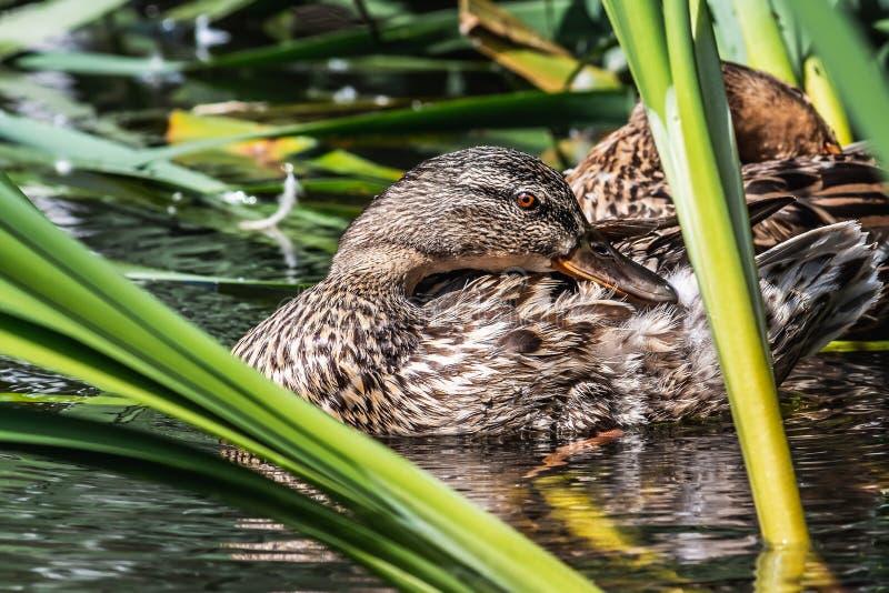 与明亮的橙色眼睛的湿棕色成人鸭子在绿色芦苇中的池塘清洗羽毛在公园在背景的夏天 免版税库存图片