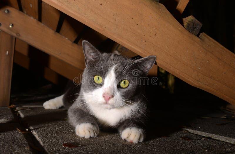 与明亮的眼睛的逗人喜爱的灰色和白色猫 库存图片