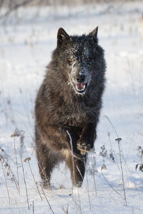 与明亮的眼睛的黑狼 免版税库存照片