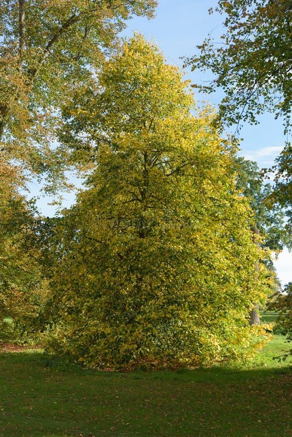 与明亮的秋天颜色的树在Nowton公园 库存照片