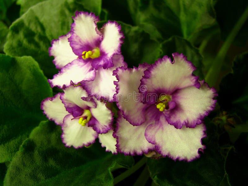与明亮的紫红色的中心和起皱的紫红色的边缘的白色星花在绿色背景 库存照片