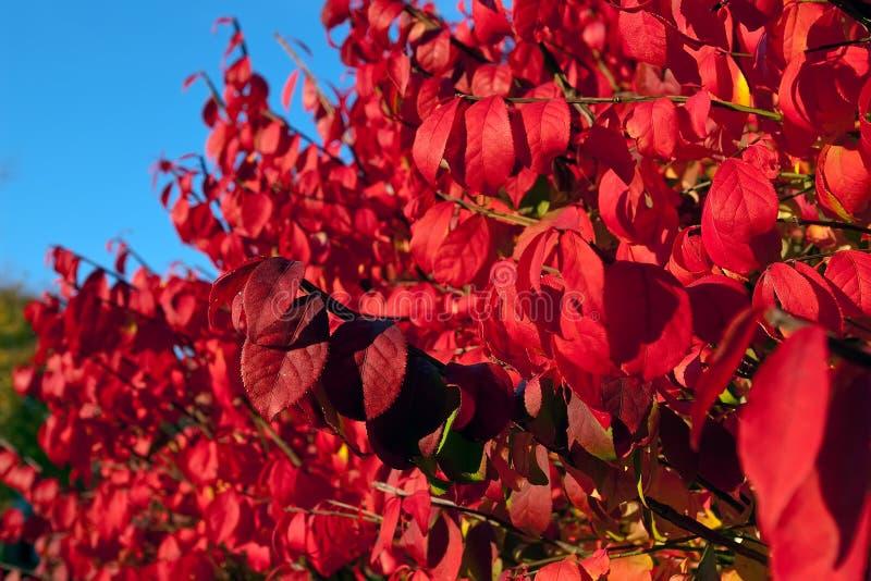 与明亮的红色叶子的燃烧的矮树丛在秋天期间 库存图片