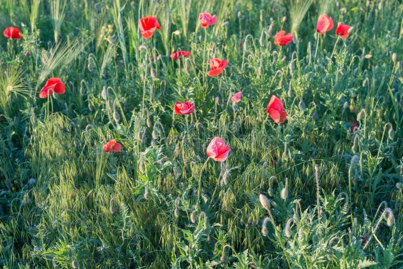 与明亮的红色鸦片的领域 开花的芬芳猩红色开花-鸦片以绿草为背景 库存图片