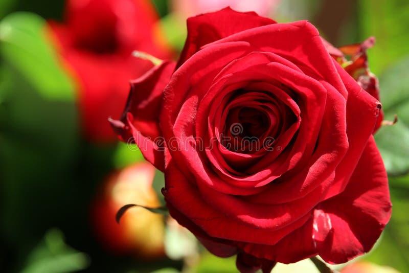 与明亮的阳光的红色玫瑰 库存照片