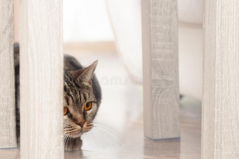 与明亮的黄色眼睛偷看的英国短发品种猫从椅子的后面,寻找某事 Tebby颜色,户内 剪切 免版税库存图片