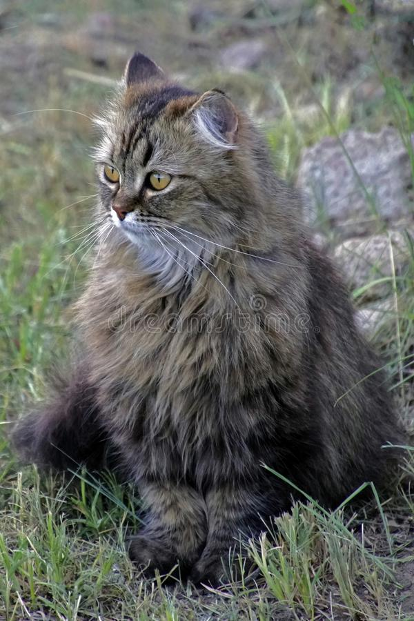 与明亮的黄色眼睛的蓬松灰色猫 耳朵毛皮 库存照片