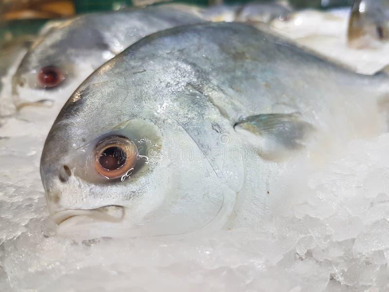 与明显地眼睛的大鲜鱼 免版税库存照片