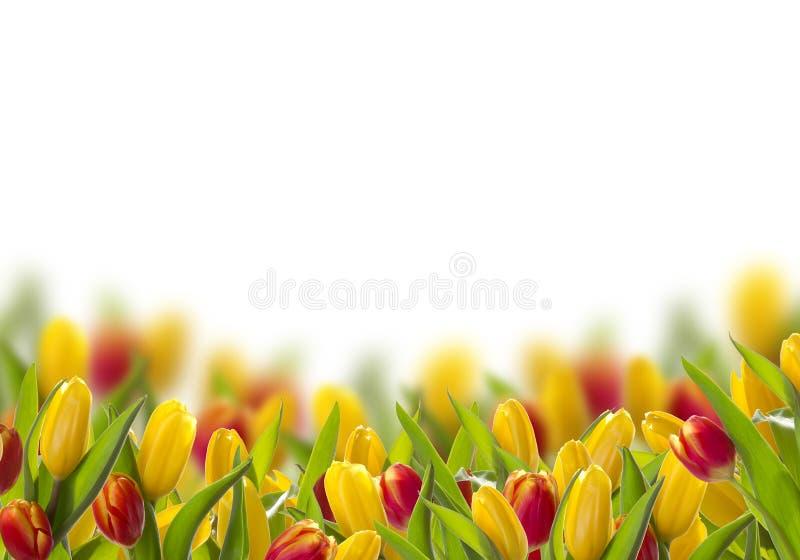与春天郁金香的明信片 图库摄影