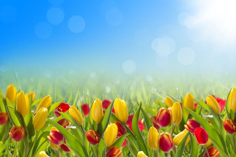 与春天郁金香的明信片 免版税库存图片
