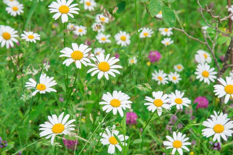 ?? 与春黄菊和三叶草的夏天领域 库存图片