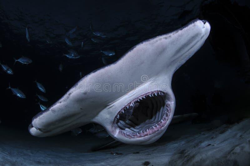 与显示牙的开放嘴的双髻鲨在巴哈马的黑暗的水域中 图库摄影