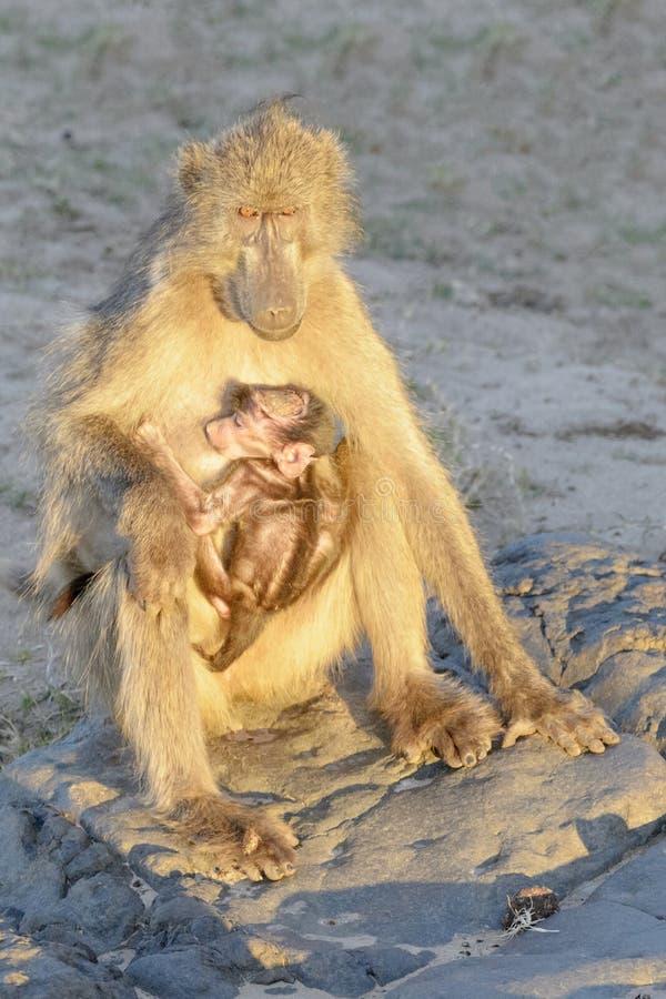 与晒日光浴的婴孩的Chacma狒狒 库存照片