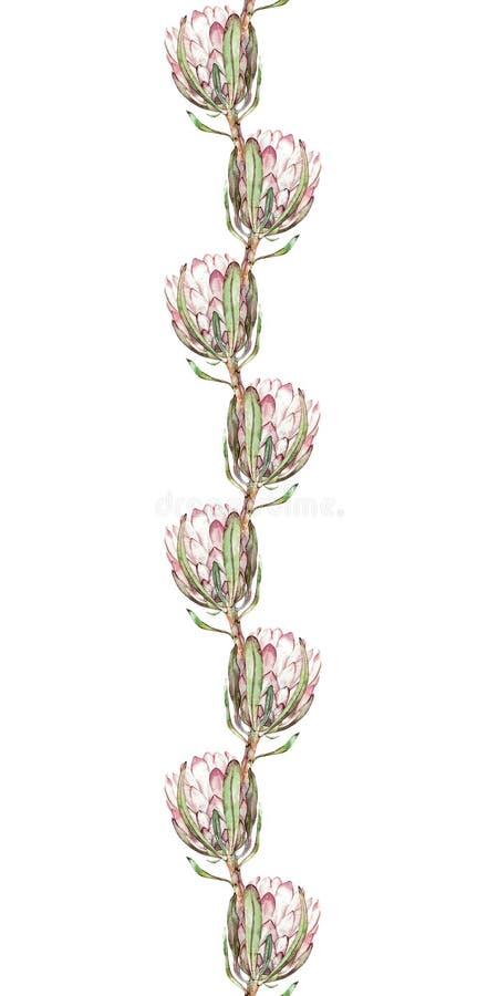 与普罗梯亚木花的花卉边界样式 织品设计的无缝的背景 向量例证