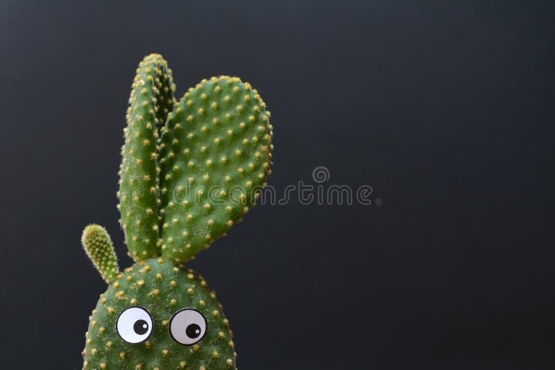 与曲棍球的眼睛的滑稽的盆的仙人掌microdasys兔宝宝耳朵仙人掌在黑暗的背景前面 免版税图库摄影