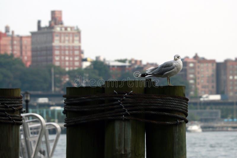 与曼哈顿地平线的海鸥和布鲁克林大桥在背景,纽约中 图库摄影