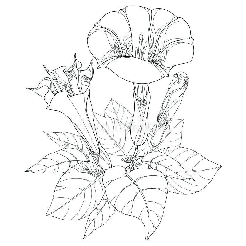 与曼陀罗stramonium或曼陀曼的词根 含毒植物 在白色背景和芽隔绝的花、叶子 皇族释放例证