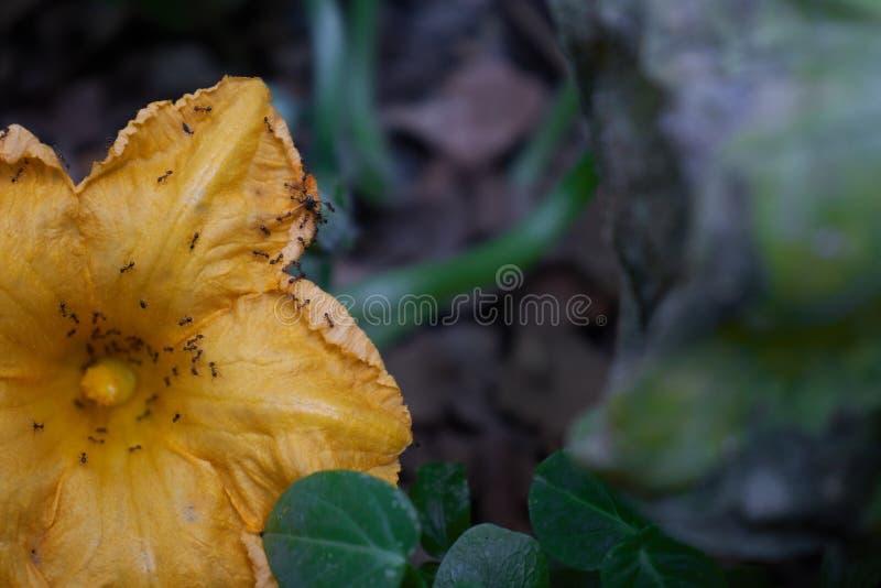 与有些蚂蚁的黄色花对此 库存照片
