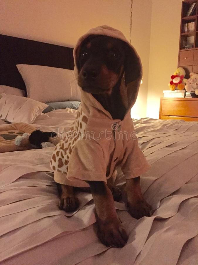 与有冠乌鸦的小短毛猎犬在床上 免版税库存图片
