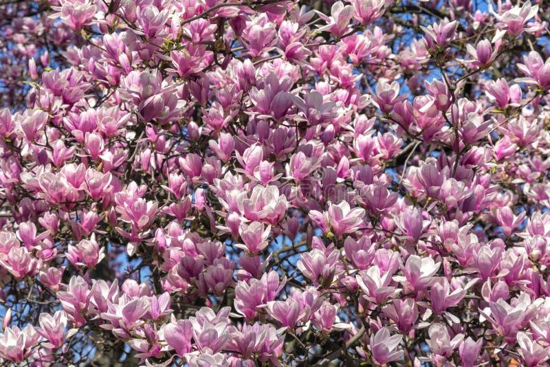 与木兰开花的春天 免版税库存图片