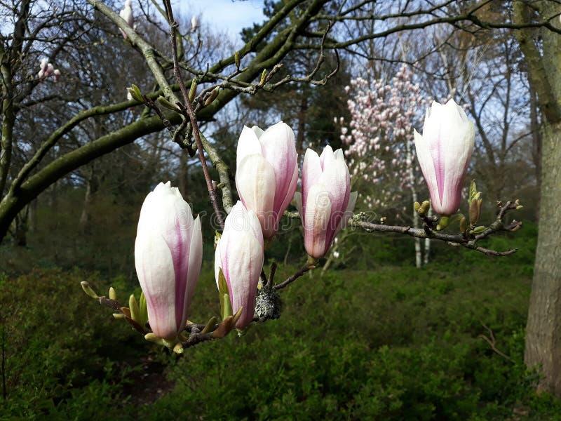 木兰花的桃红色芽 免版税图库摄影