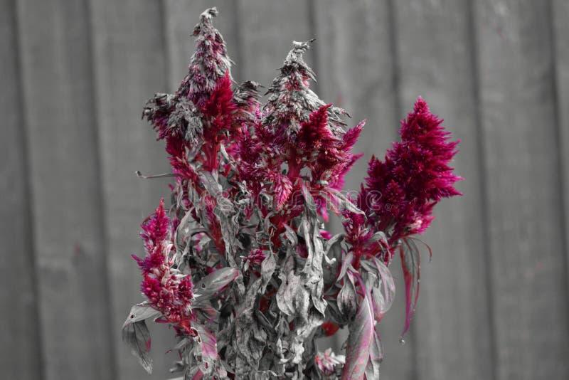 与木篱芭的红色干燥花在背景中 图库摄影