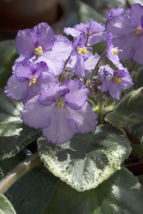 与杂色的叶子的紫色非洲紫罗兰花 库存照片