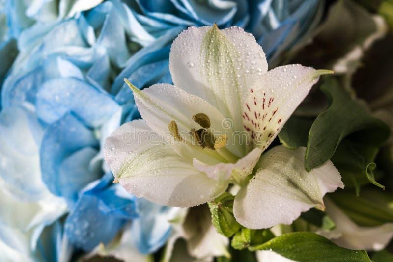与杂色的瓣的美丽的白百合和与清楚的水特写镜头下落的黄色核心  在蓝色的美丽的白花 库存照片