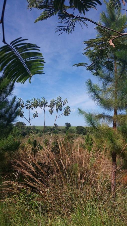 与杉木入侵的巴西领域 库存图片